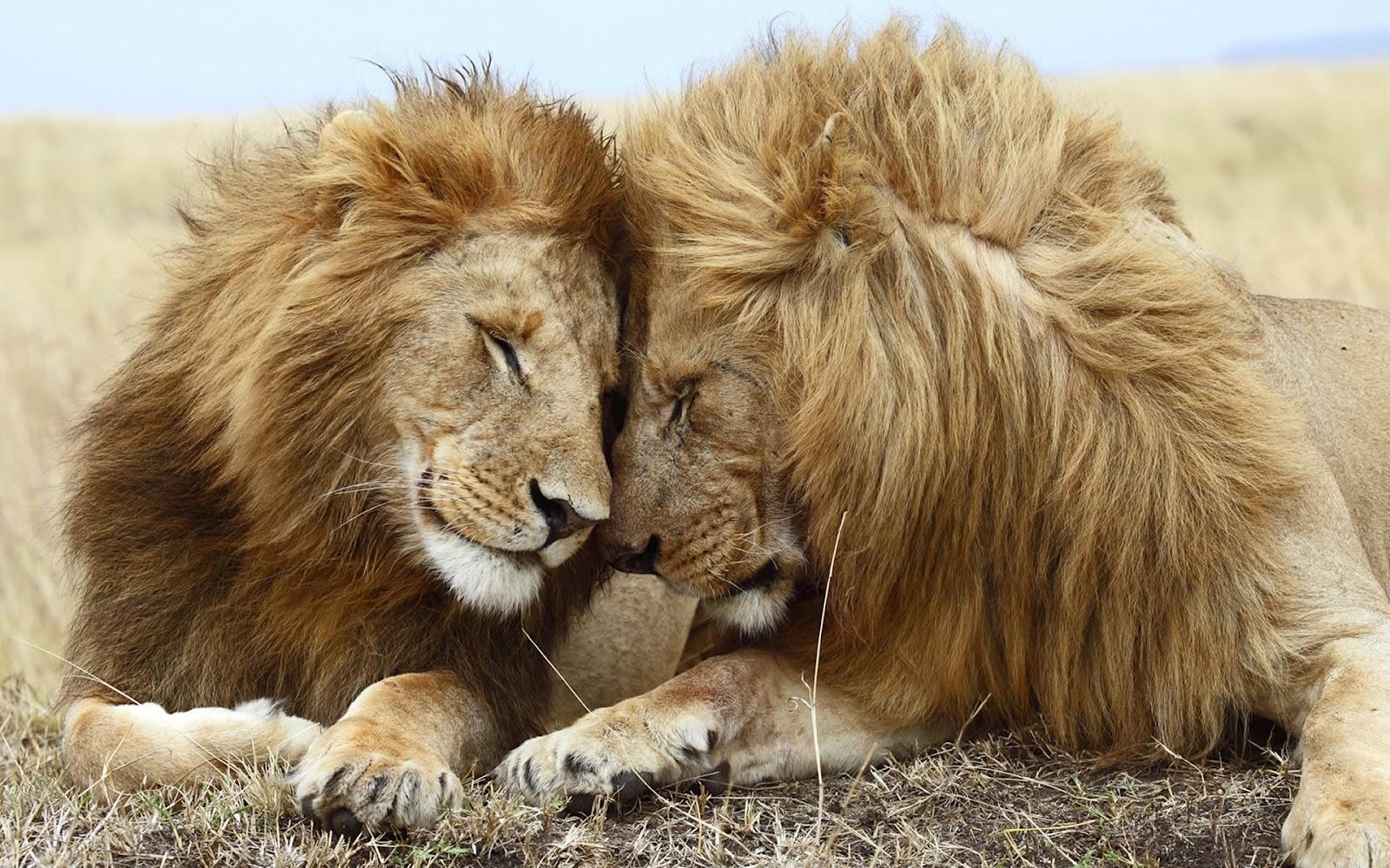 Wonderful   Wallpaper Horse Lion - 1426-Lions-Wallpaper  Photograph_429177.jpg