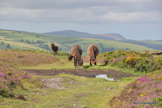 Exmoor ponies, Exmoor National Park, North Devon
