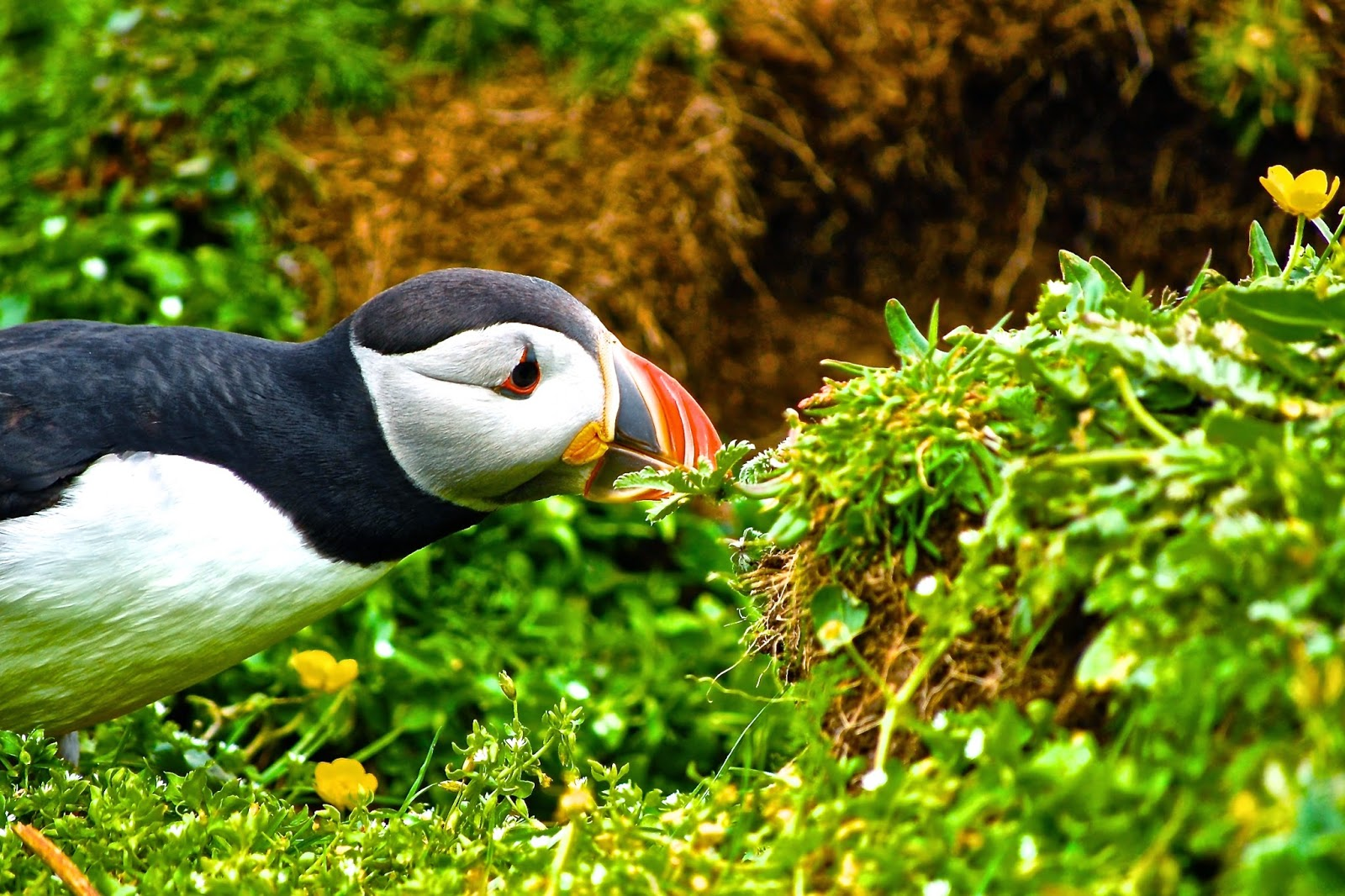 Puffin stretch, Lunga, Treshnish Isles, Scotland