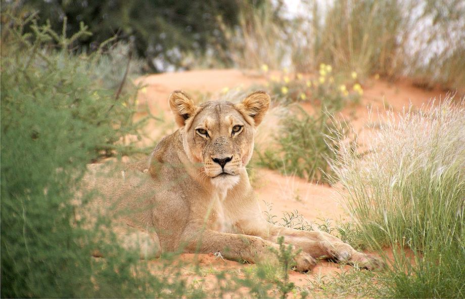Ynas Reise Blog | Im Kgalagadi Transfrontier National Park | Eine Löwin