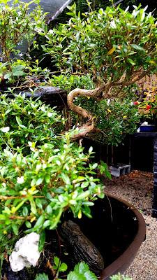 tronco retorcido de bonsai de serissa foetida