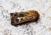 Latest New Macro Moth Species - Antler Moth