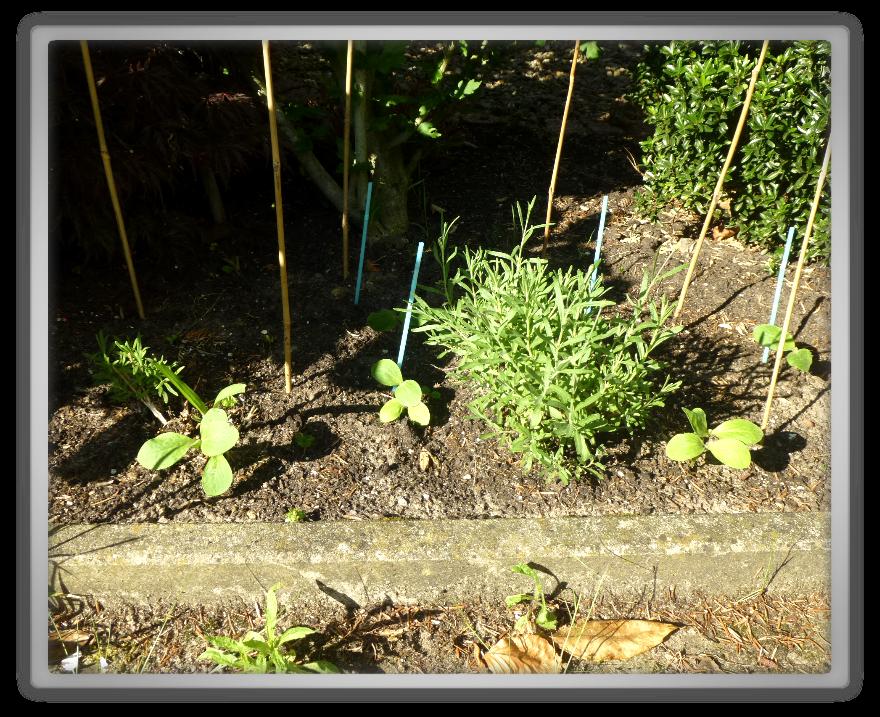 My front garden spring summer gardening   marjolein planting pumpkins pumpkin patch 1 Lavandula lavender officinalis