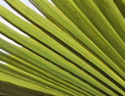 Op Art Palm, Photograph, Sarah Myers, plant, S. Myers, leaves, green, bright, abstract, sunlight