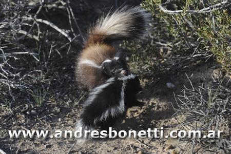 Zorrino con cría - Skunk with their baby - Península Valdés - Patagonia - Andrés Bonetti