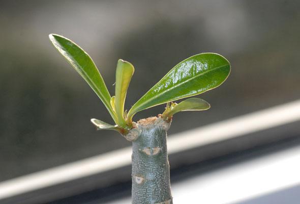 blog eines pflanzen fl sterers k pfen funktioniert zumindest bei w stenrosen. Black Bedroom Furniture Sets. Home Design Ideas