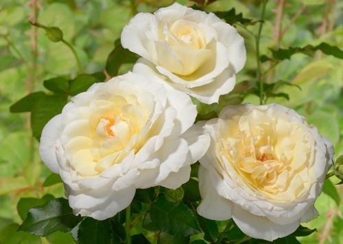 Tchaikovski rose сорт розы фото
