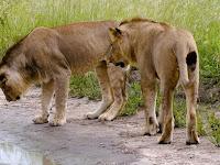 King Kobra Kecil VS Dua Singa Jantan, Siapa yang Takut?