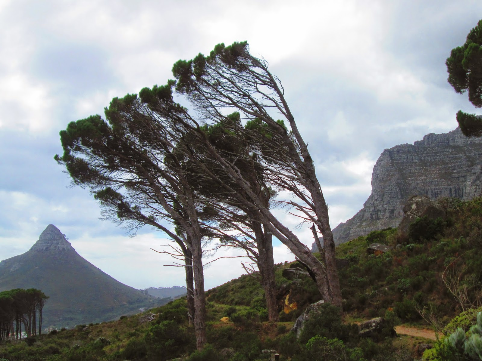Windblown trees Cape Town