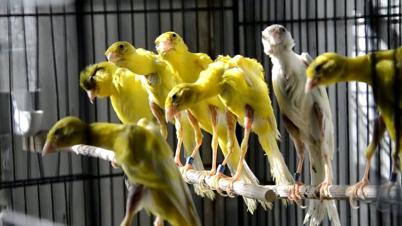 Burung Kenari Gibber Italicus