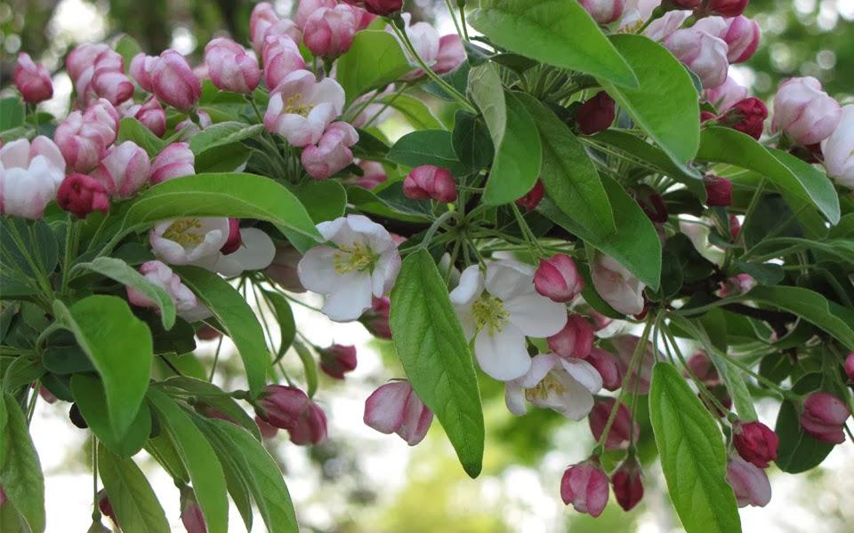 Il giardino delle naiadi melo da fiore un 39 attrattiva per for Arbusto dai fiori rosa e bianchi