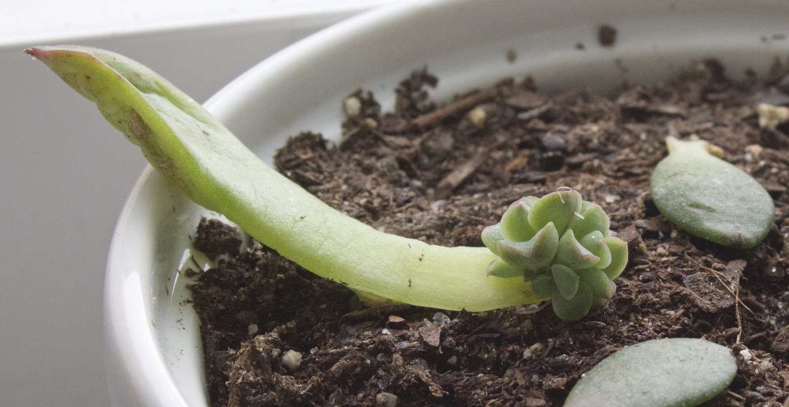 succulent leaf growing new plant