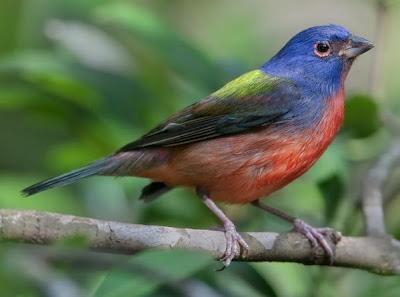 Foto Burung Painted Bunting