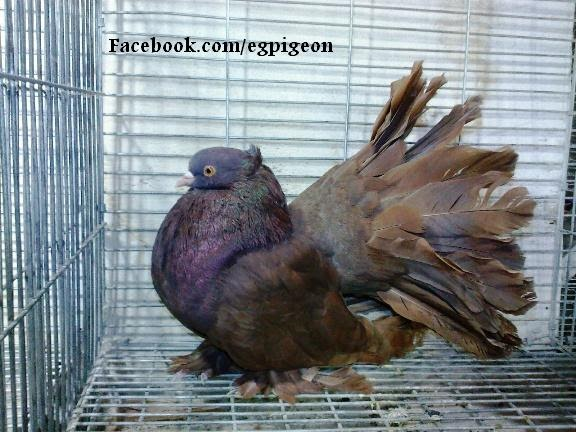 Pigeons for sale: Red Agate fantail