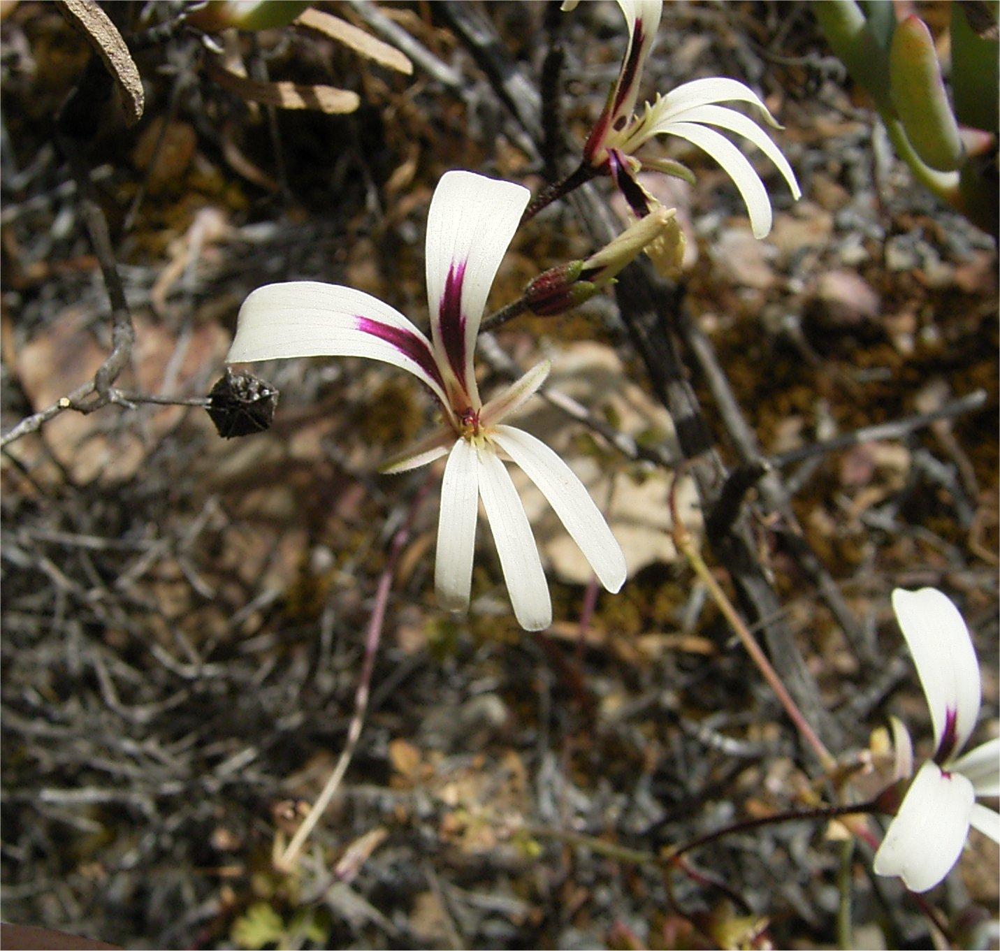 Pelargonium trifidum flowers