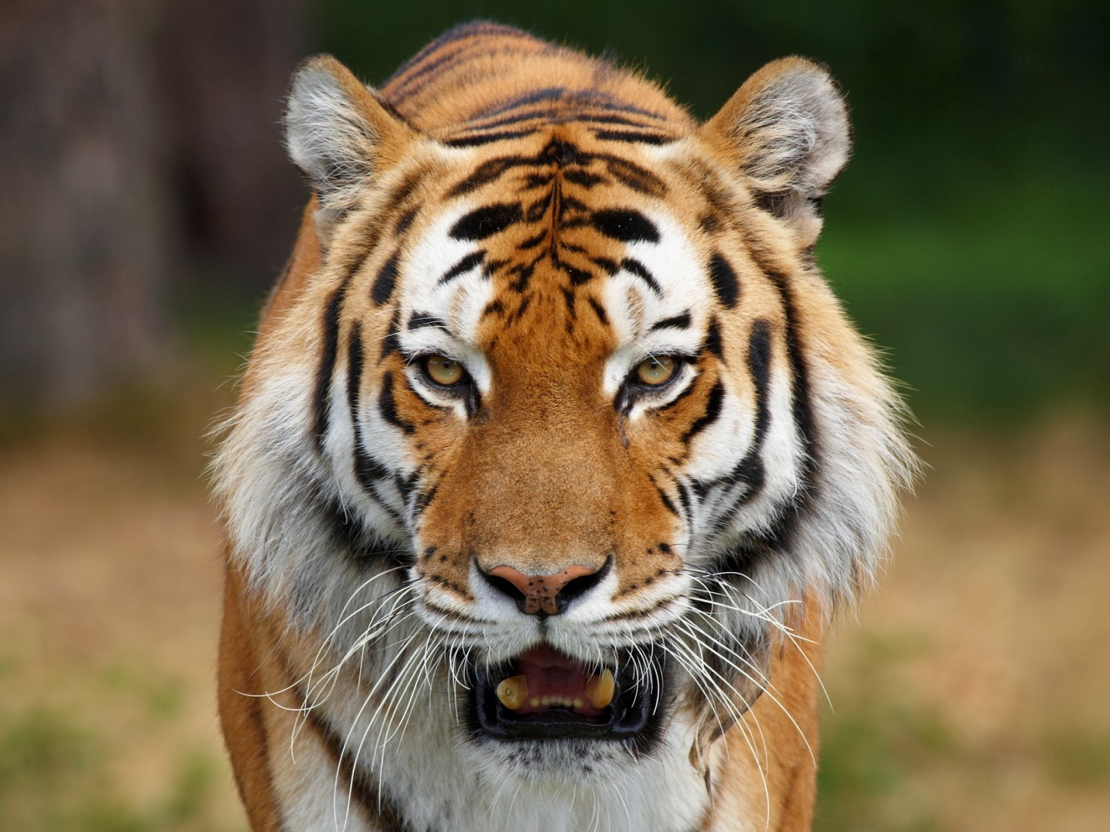 tiger face wallpapers ~ free hd desktop wallpapers download