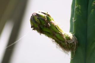 san pedro cactus bud