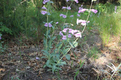beardtongue (Penstemon grandiflorus) in bloom