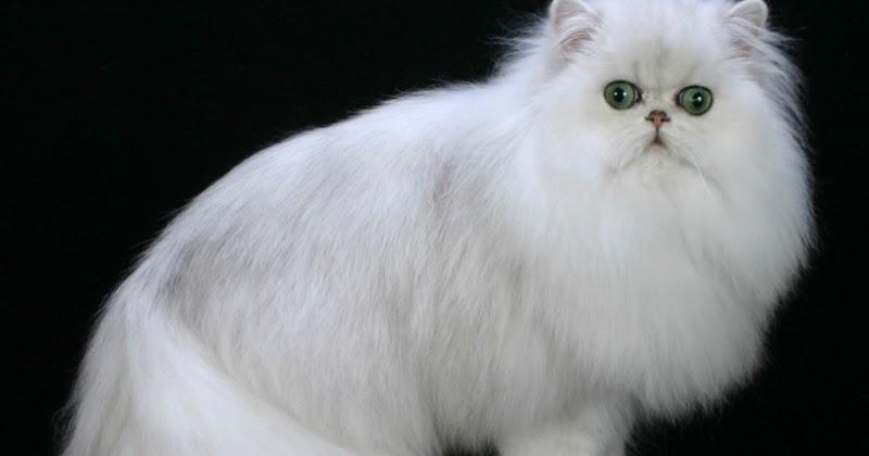 Tips Cara Profesional Merawat Kucing Persia Krian Sidoarjo