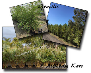 Gracilis and Alphonse Karr being featured at Mt Macedon by Bamboo Creations Victoria
