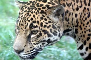 ملف كامل عن اجمل واروع الصور للحيوانات  المفترسة   حيوانات الغابة  2126324172_c655cf06fc
