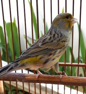 Burung Kenari - Solusi Penangkaran Burung Kenari -  Kode Ring Kenari Import Pada Negara Spanyol