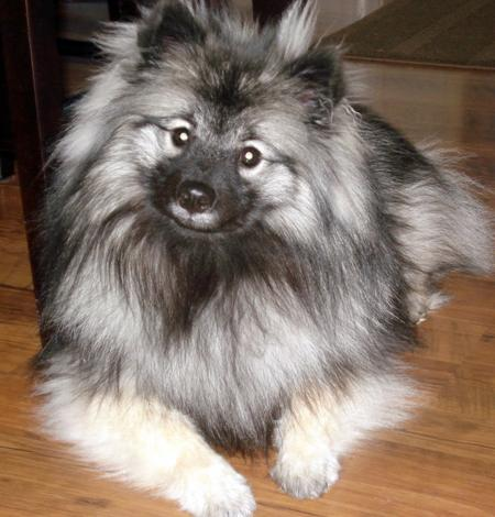 Keeshond And Cats Animal Photo: Keeshond...