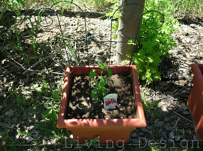Living Design: June Garden serrano pepper
