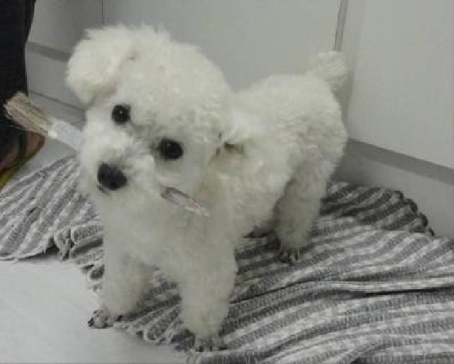 Vendo Filhotes poodle=Contato 88 9 9933 9664