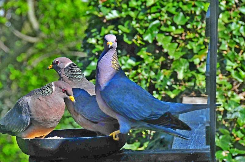 band-tailed pigeons nanaimo