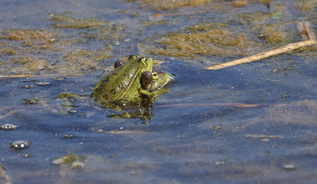 Tricia 39 s tales a tale of marsh frogs at london wetland for Frog london