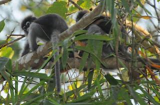 Dusky Langur (Trachypithecus obscurus)