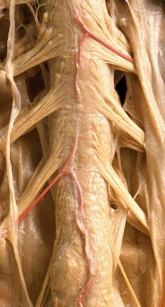 Anatomía 2012 - Ayudante Pablo Prado: Adamkiewicz