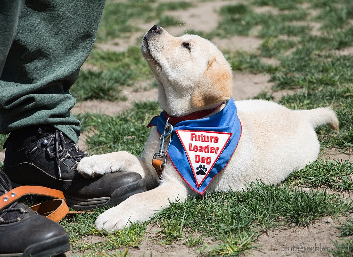 A small yellow lab puppy is lying on the grass with her right front paw resting on the black shoe of her handler, who is standing on the left (only his feet are visible in the shot). The puppy is wearing the blue Future Leader Dog bandana and is looking up at the handler.