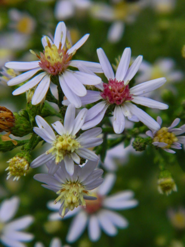 Eurybia divaricata White wood aster  by garden muses-not another Toronto gardening blog