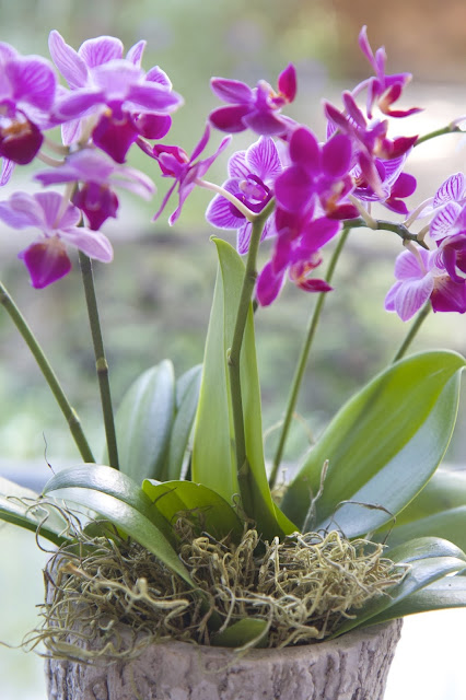 Remove stakes from orchid and insert moss; How to Landscape an Orchid; Nora's Nest
