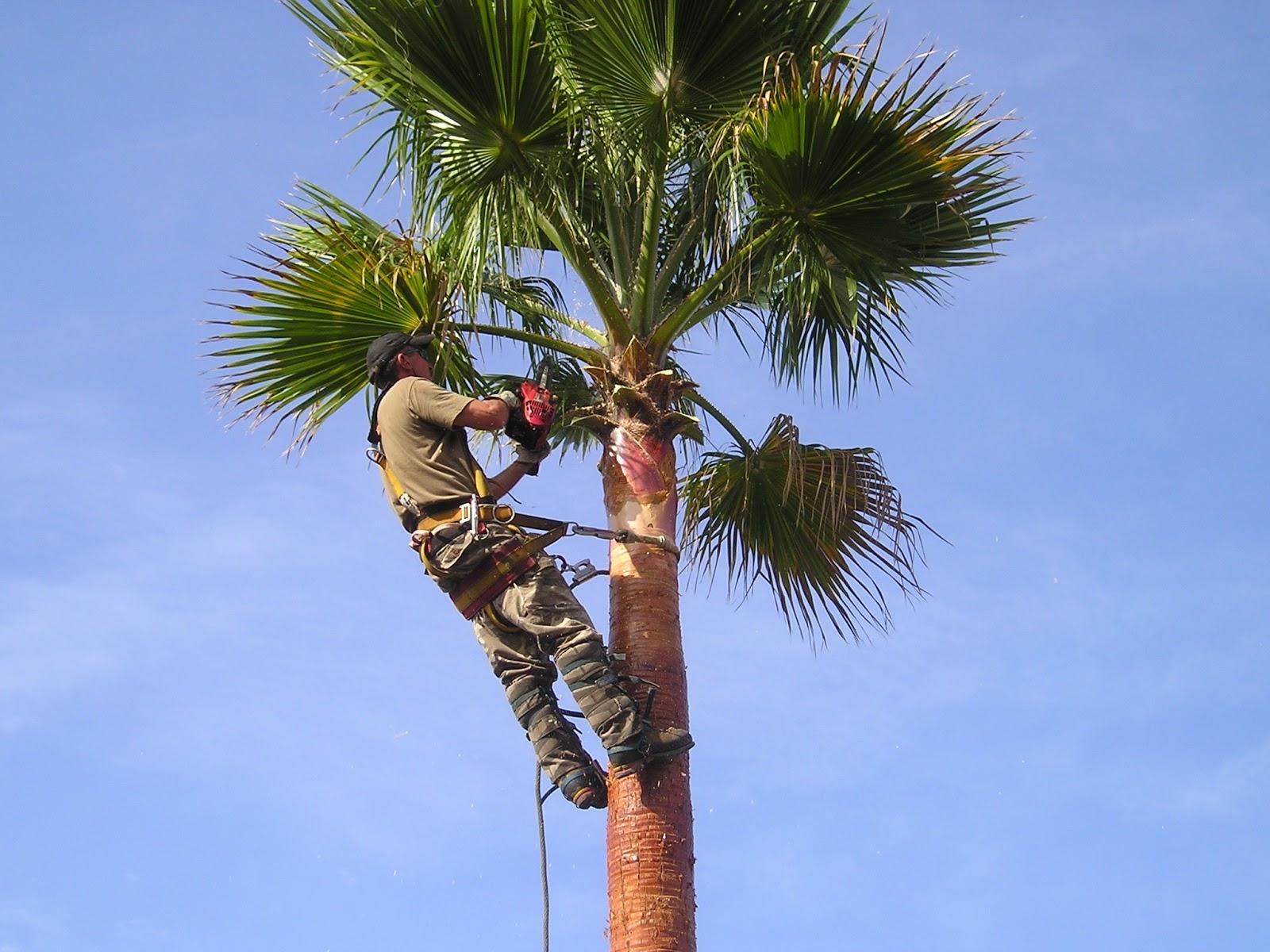 palmier washingtonia taille