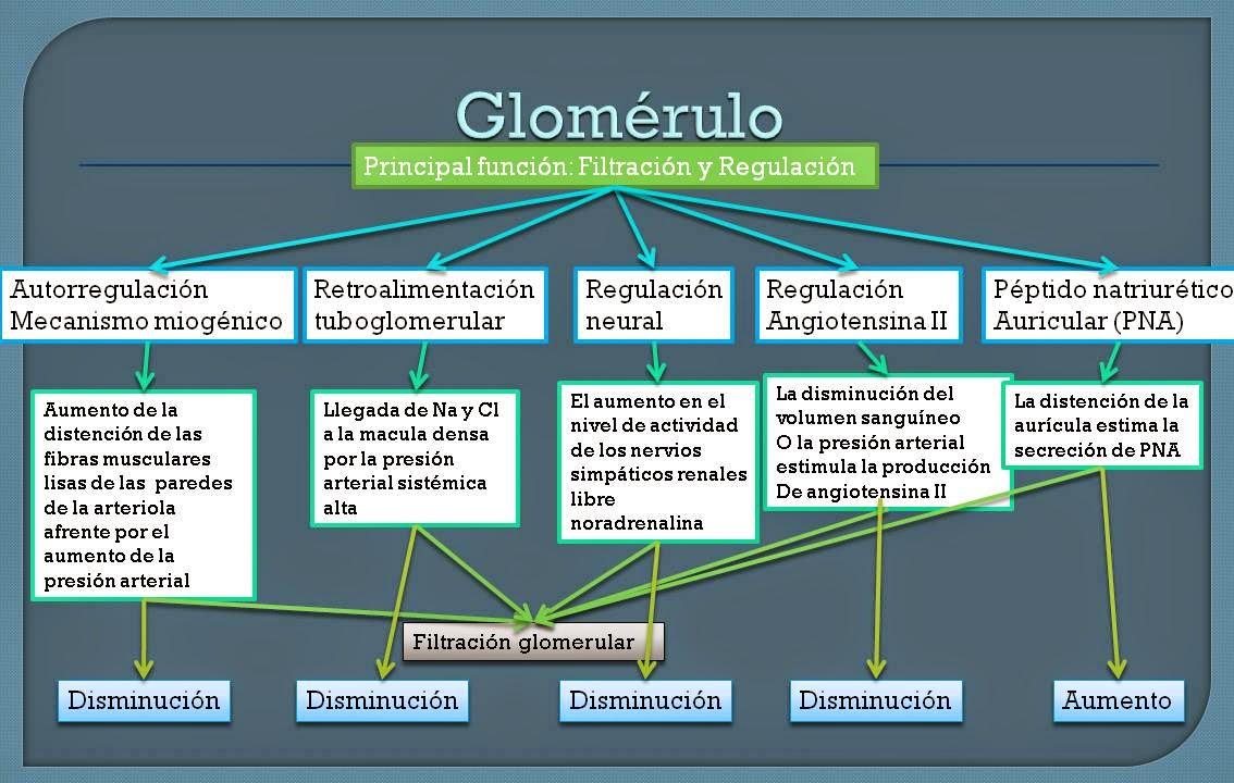 El Blog De Fisiología Medica de Jesus Ramon Sosa Chombo: Glomérulo