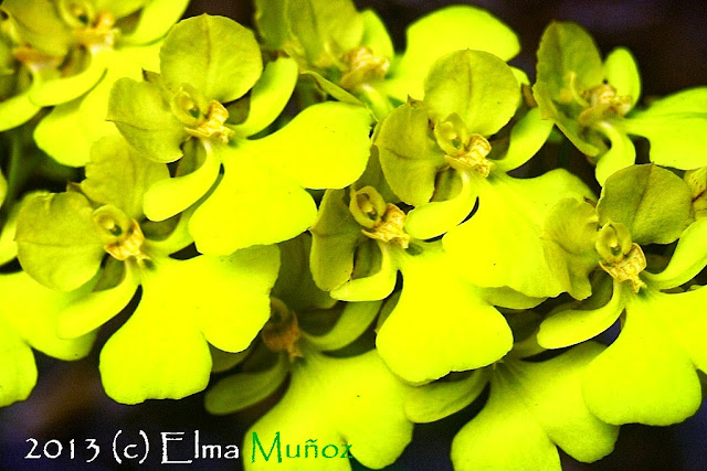 Oncidium onustum. Fotos de orquideas del Perú