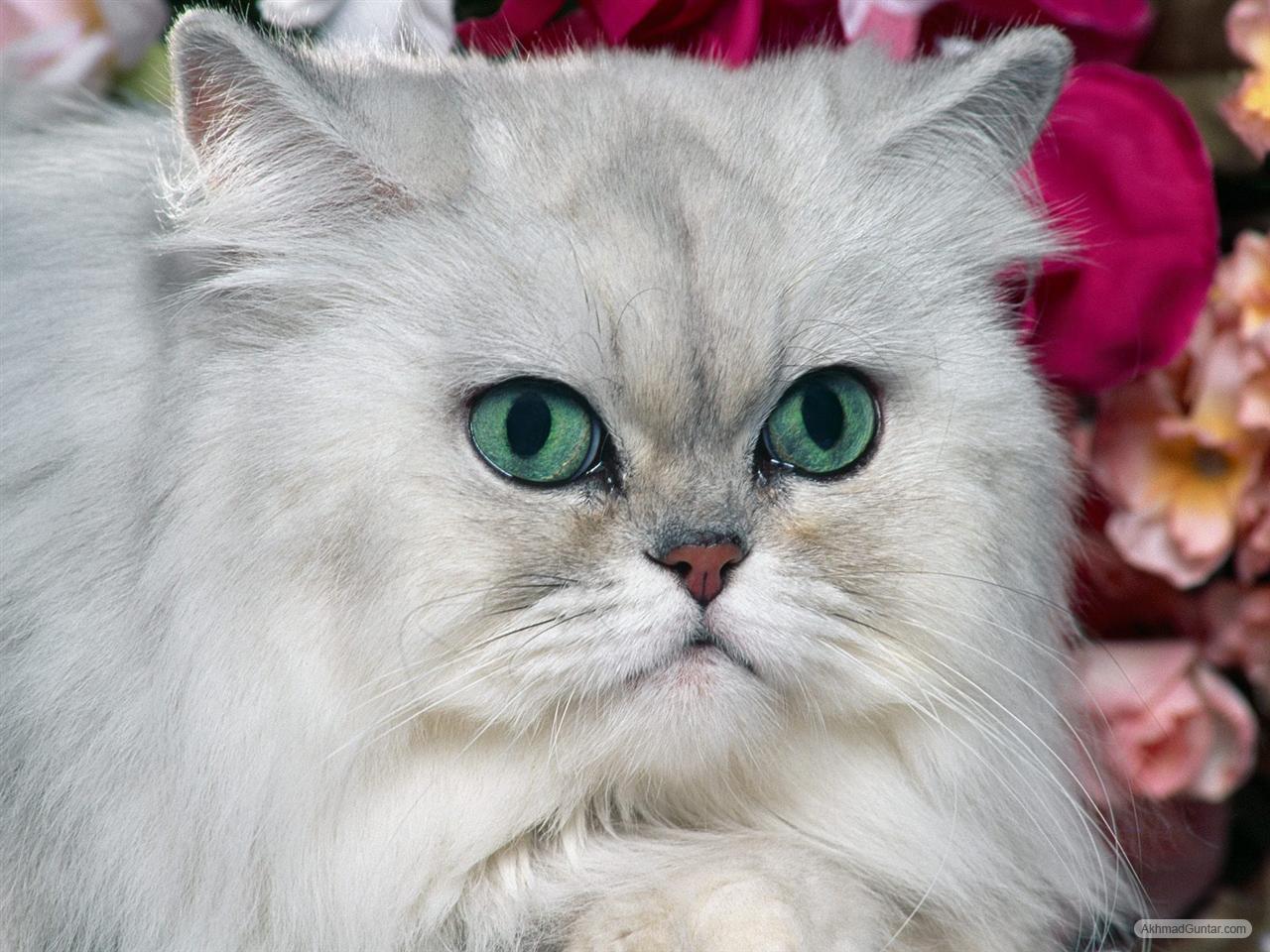 Tidak banyak yang men ahui bahwa dari jumlah 1% tersebut Indonesiamemiliki kucing trah asli Indonesia yang hidup dan berkembang biak di Madura