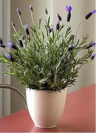 sivka na okenski polici │ raste │ moja edina roža