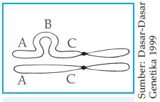 Formasi gelang pada saat sinapsis