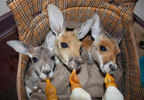 Funny animals of the week - 21 February 2014 (40 pics), three baby kangaroos being bottle-fed