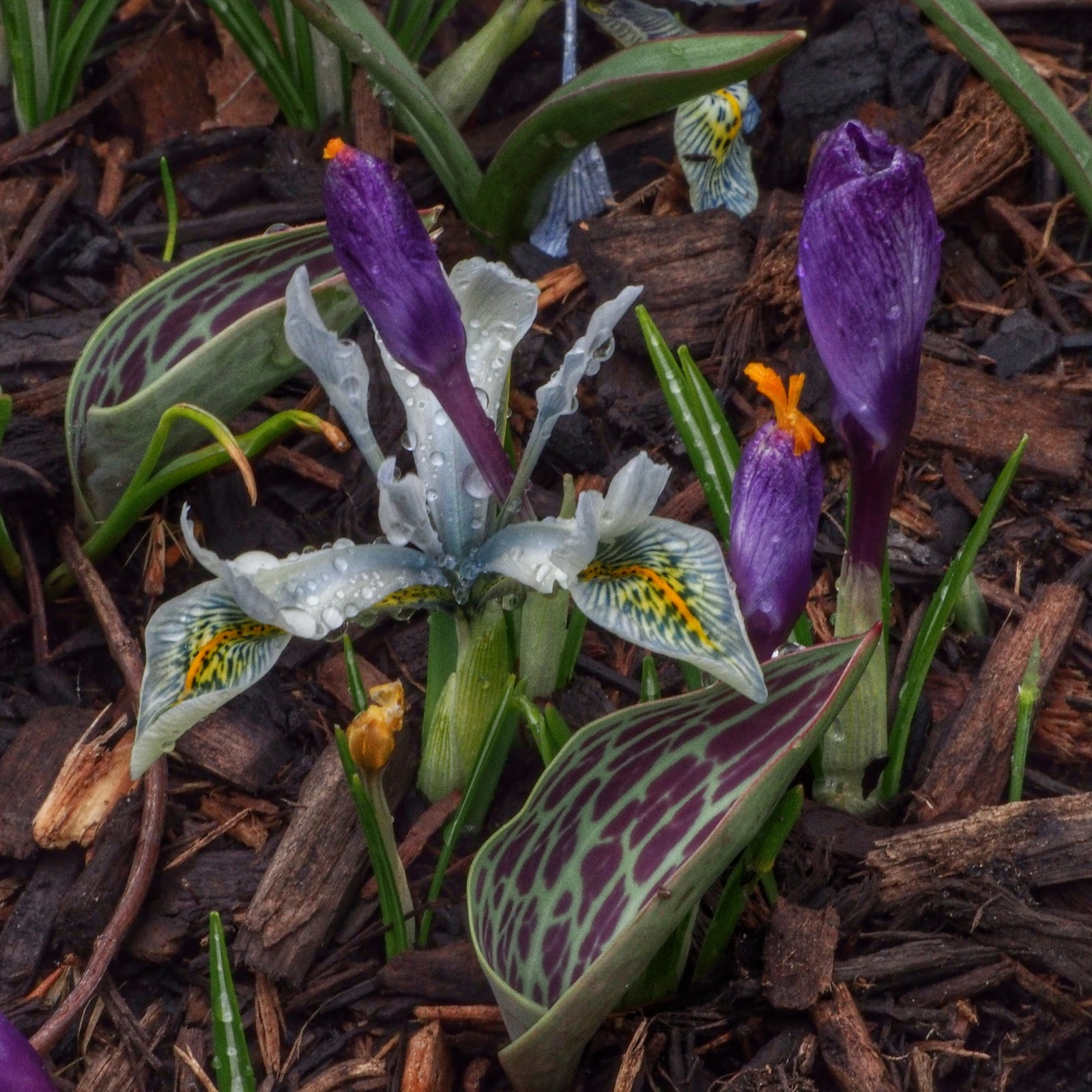 Mixed Bouquet OR Crocus on the Cusp, #NYC #iris #crocus #conservatory garden #centralpark 2014