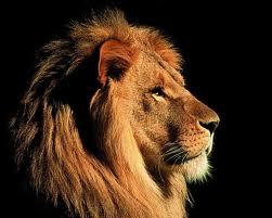 lion asli