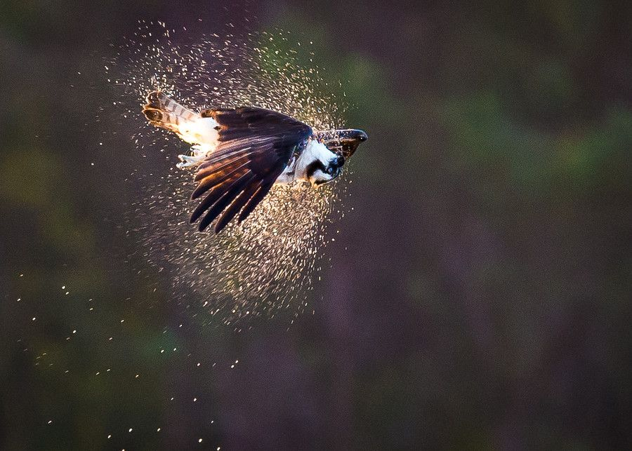 8. Osprey Shake! by amcinnis