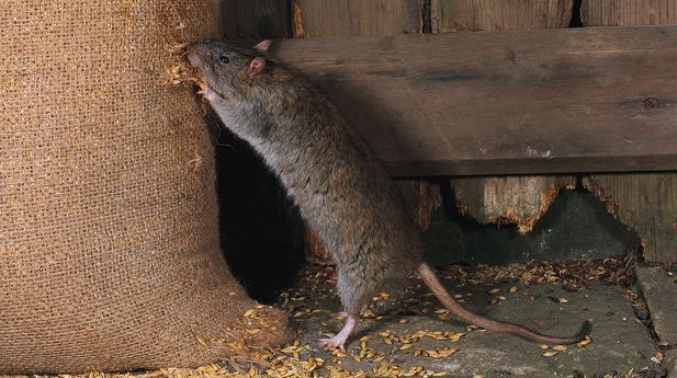 Forest forestal rata parda - Como eliminar ratas en casa ...