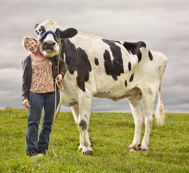 Lembu Tertinggi Di Dunia