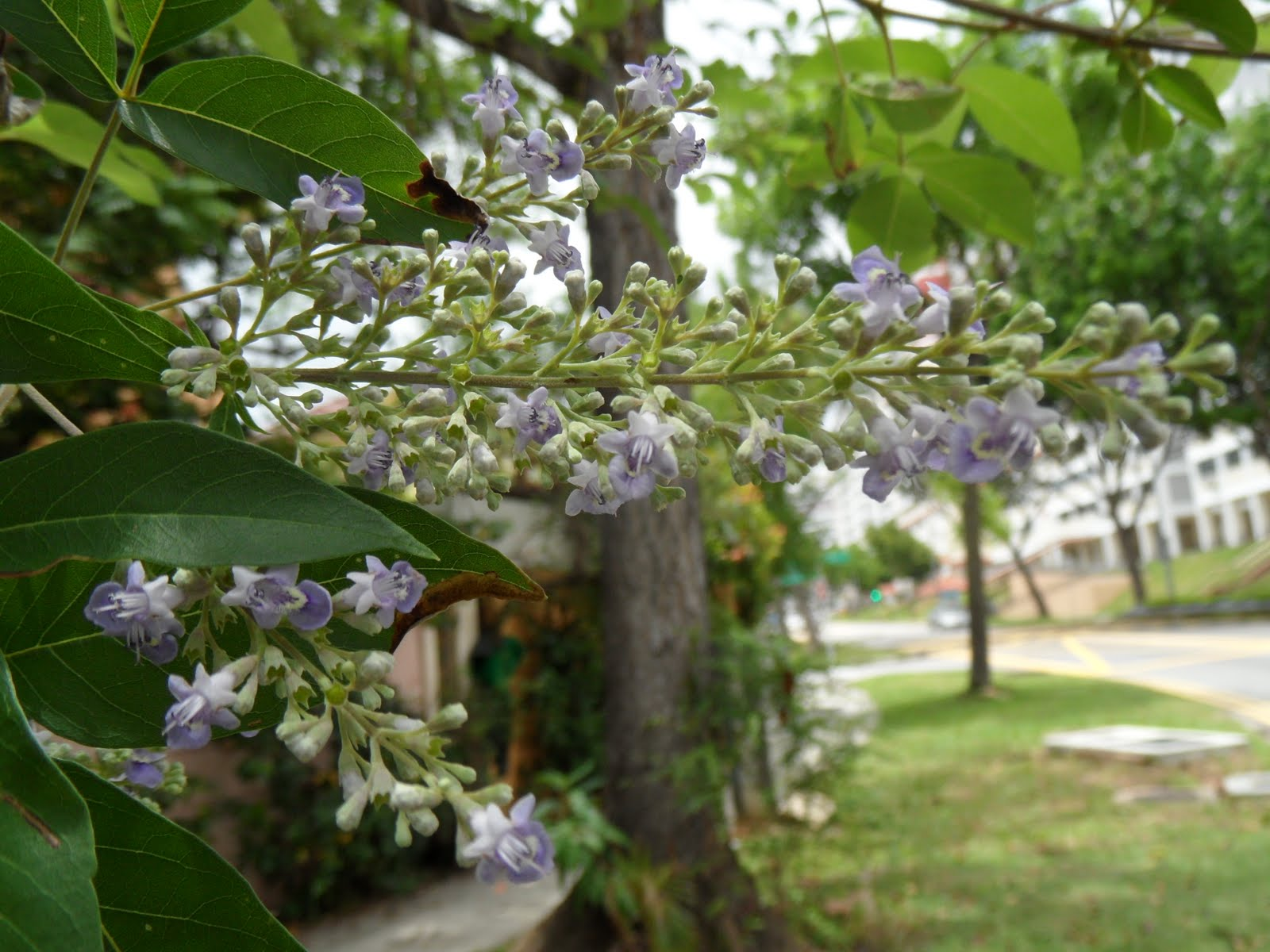 phytoremediation of vitex negundo plants Present study the selected plant vitex negundo linn, belongs to the family verbenaceae, which is known to possess  chemical and medicinal value of vitex negundo .