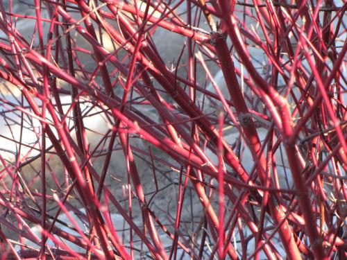 red-osier dogwood